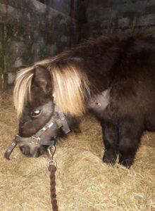 Jaffa-Cake the Shetland pony