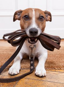 Dog holding a leading in its mouth waiting for owner to take him for a walk