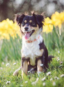 Dog sitting among daffodils